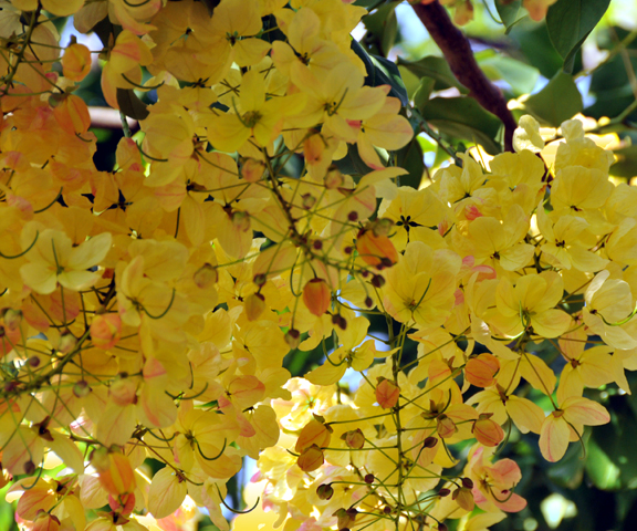 Hawaiian Gold Shower Tree by Lorrie Morrison