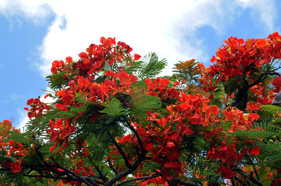 Flamboyant Red Flowering Tree